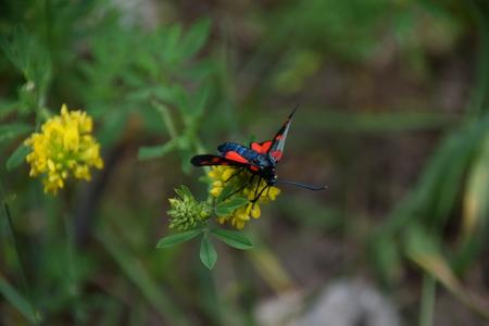 Een dag-vliegende mot op een bloem