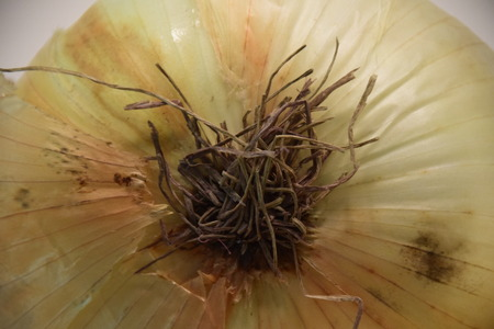 De bodem van een ui
