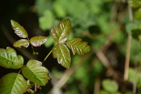Poison oak growing in the Oregon forest Stockfoto