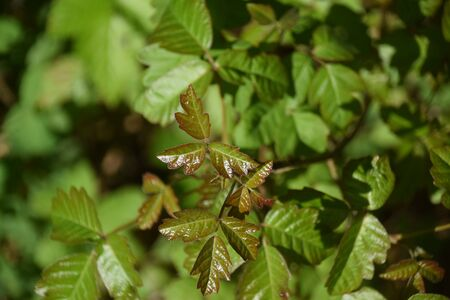 Poison oak growing in the forest