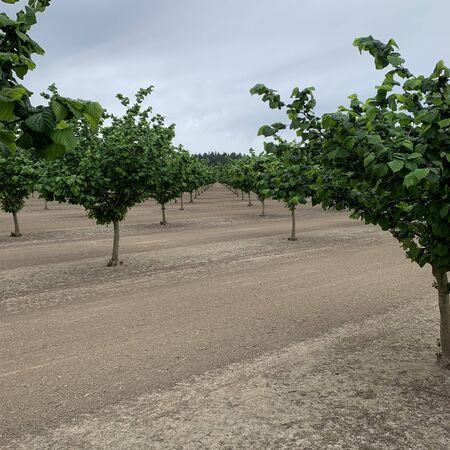 Hazelnuts growing in a hazelnut orchard in the Willamette Valley of Oregon
