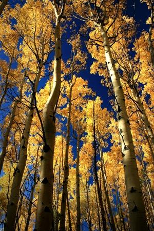aspen leaf: Aspen Trees in Fall, near Santa Fe, New Mexico, USA