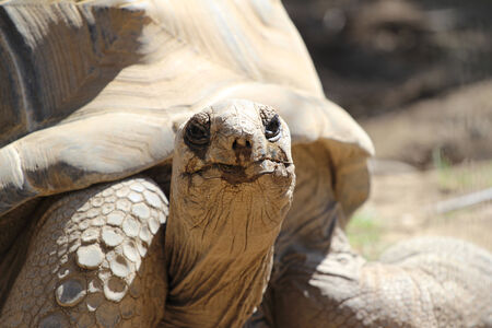 echse: Aldabra giant tortoise  Aldabrachelys gigantea  Stock Photo