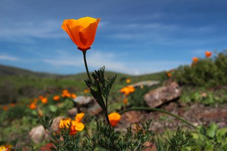 Golden poppy flower Stock Photo