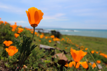 California poppy flowers, near Monterey, California, USA photo