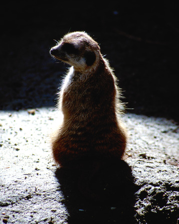 Surricate meerkat on black background photo