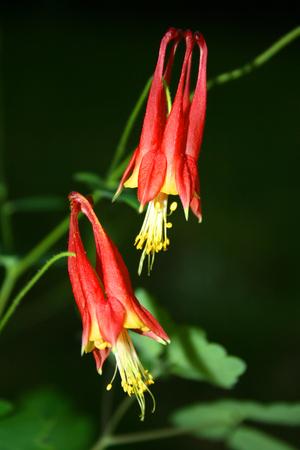 aquilegia: Eastern columbine flowers  Aquilegia canadensis