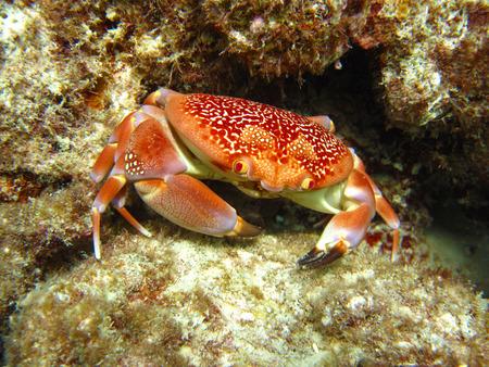 blue crab: Batwing Coral Crab  Carpilius corallinus , Caribbean Sea