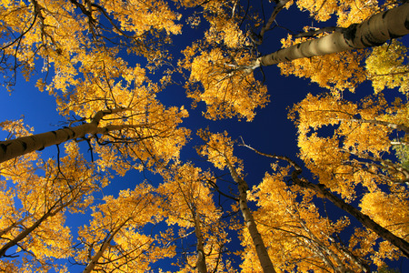 fall aspens, outside Santa Fe, New Mexico, USA photo
