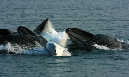 ジュノー、アラスカ、米国の近くのザトウクジラが給餌
