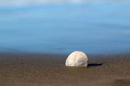sand dollar: Lone sand dollar on beach Stock Photo