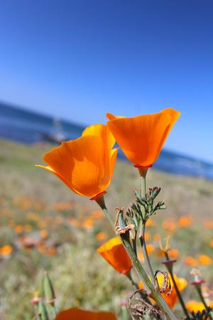 California gold poppy flowers, California, USA Stock Photo