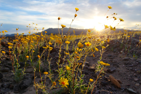 Sunrise over super bloom of desert sunflowers, Death Valley National Park, California, 2016 Imagens