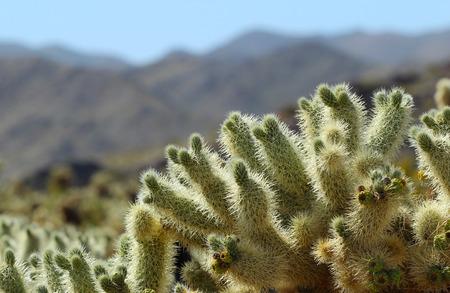 チョラサボテンパッチ、ジョシュアツリー国立公園、パームスプリングス近く、カリフォルニア州、アメリカ合衆国