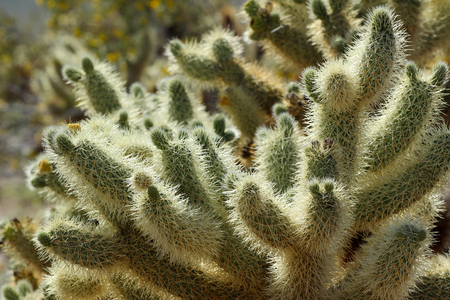 Cholla cactus patch, Joshua Tree National Park, near Palm Springs, California, USA