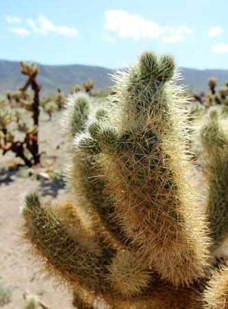 Cholla cactus patch, Joshua Tree National Park, near Palm Springs, California, USA