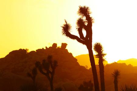 ジョシュアの木の夕日とシルエット、ジョシュアツリー国立公園、カリフォルニア、アメリカ合衆国 写真素材