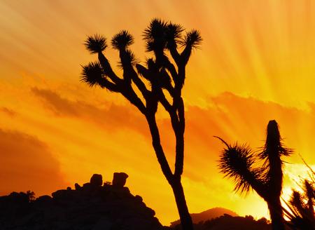 Sunset and silhouette of joshua tree, Joshua Tree National Park, California, USA Foto de archivo