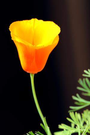 California poppy, Eschscholzia californica, official state flower of California, USA