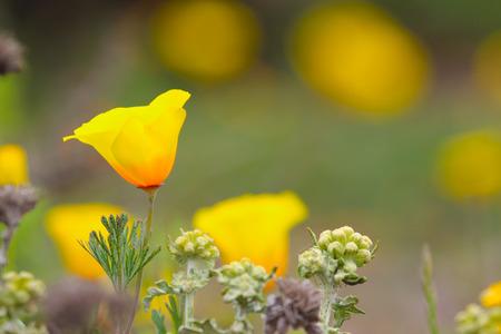 Coastal variety of California poppy, Eschscholzia californica, official state flower of California, USA