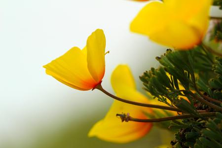 California gold poppy flowers, Highway 1, California