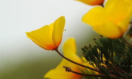 California poppy flowers in bloom, California, USA