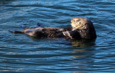 Endangered sea otter (Enhydra lutris), close-up