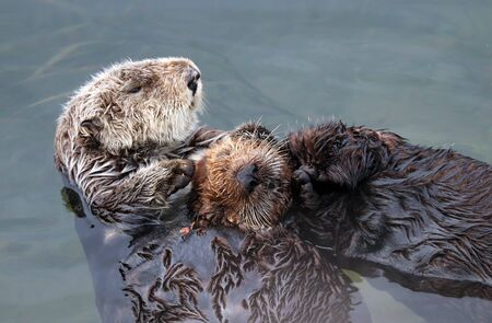 Endangered sea otter (Enhydra lutris) mother holding baby pup