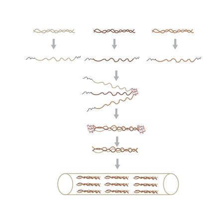 콜라겐의 형성 메커니즘 일러스트