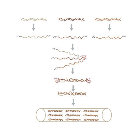 Mechanism of collagen formation Illustration