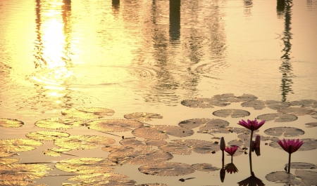 sunshine rising lotus  photo