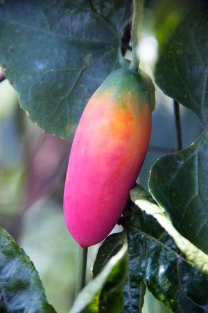 red ivy gourd