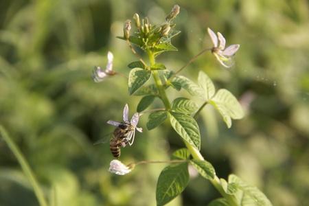 bee and wild spider flower