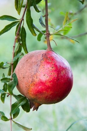 israel agriculture: pomegranate on the tree