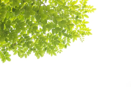 green leaves white background Stock Photo