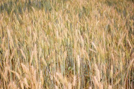 Barley field farm background Stock Photo