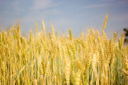 Barley field with blue sky background