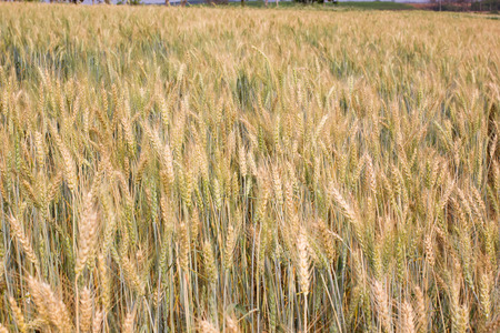 Barley field background Stock Photo