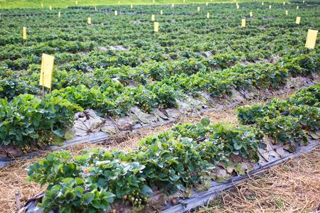 Organic strawberry farms