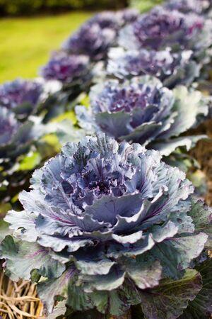 purple kale on row