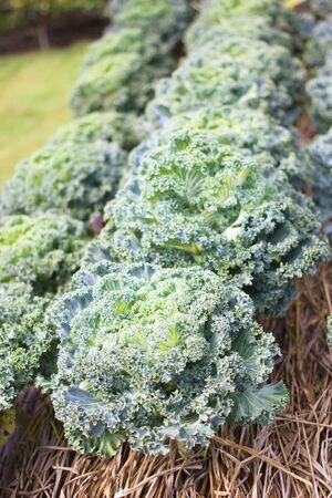 green kale on row