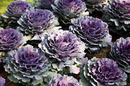 purple kale background