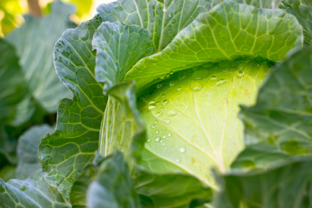 Close up water on cabbage