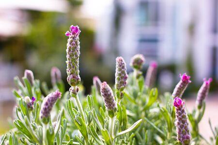 Close up lavender flowers