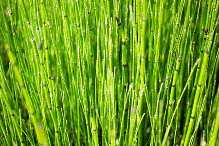 rushes: Horsetail vertical view background Stock Photo