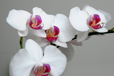 delicate: Flower, orchids, phalaenopsis, white, delicate, fragile, smooth