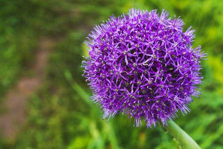 Beautiful purple flower. Allium ampeloprasum.
