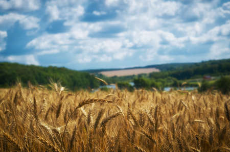 Agriculture landscape. Wheat harvest, and cloudy sky.