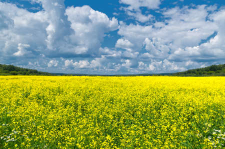 Rapeseed field, great design for any purposes. Rural landscape.