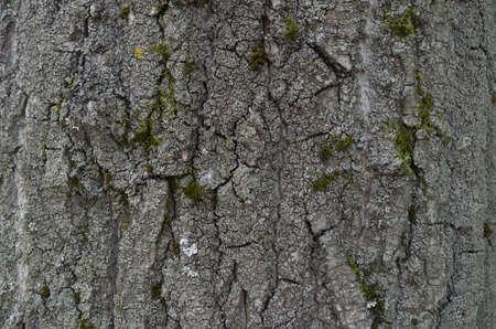Texture of tree bark - rowan trunk, forest, nature, gray tone